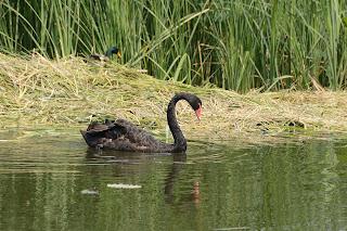 Black swan at Yuanmingyuan or Old Summer Palace in Beijing