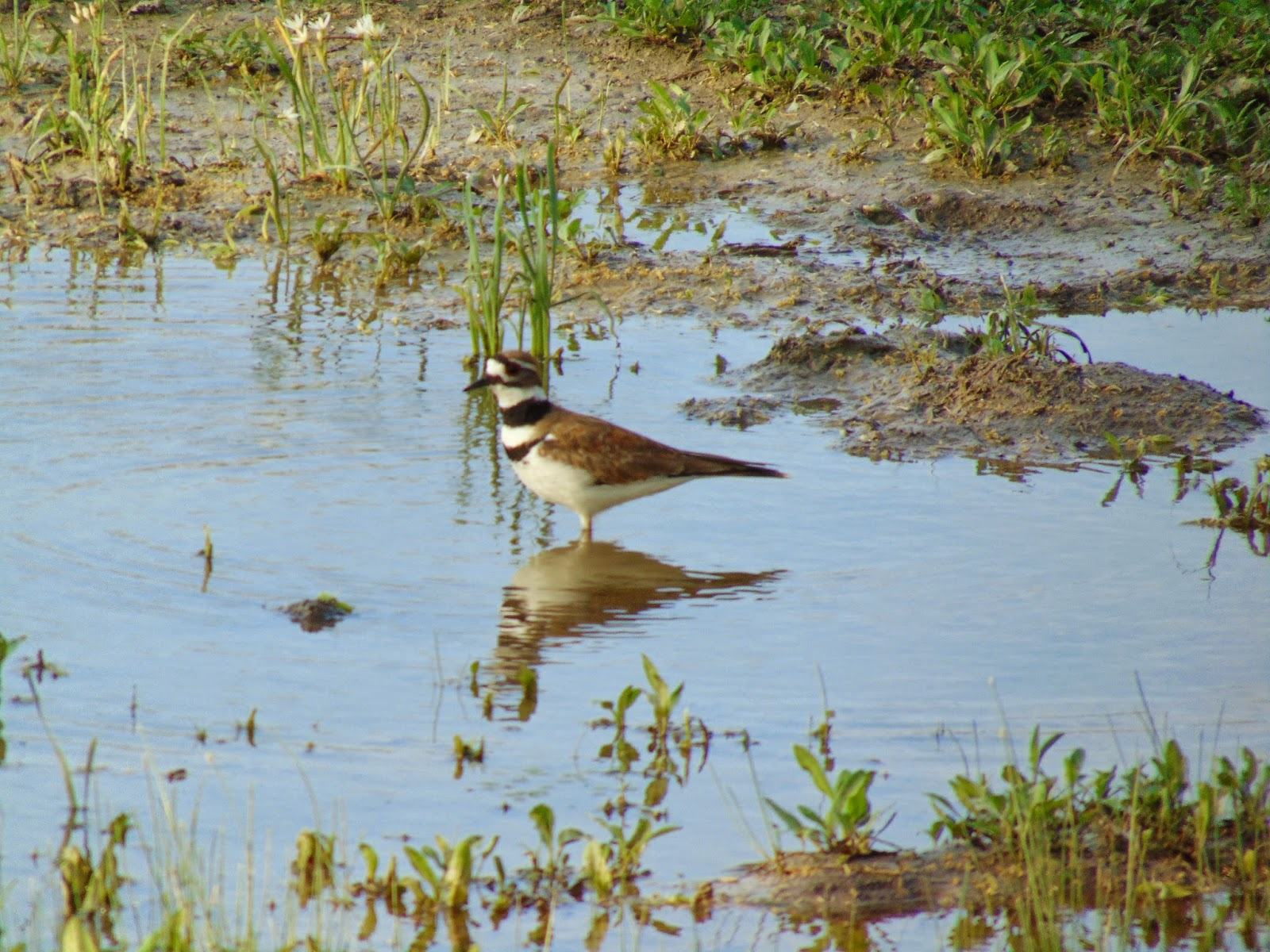 Killdeer or plover bird in Texas pond water