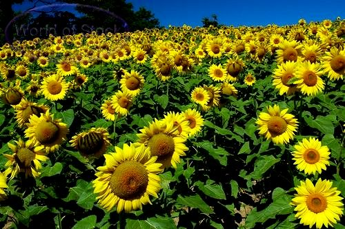 adalah gerak pada tumbuhan yang dipengaruhi oleh rangsang gerak