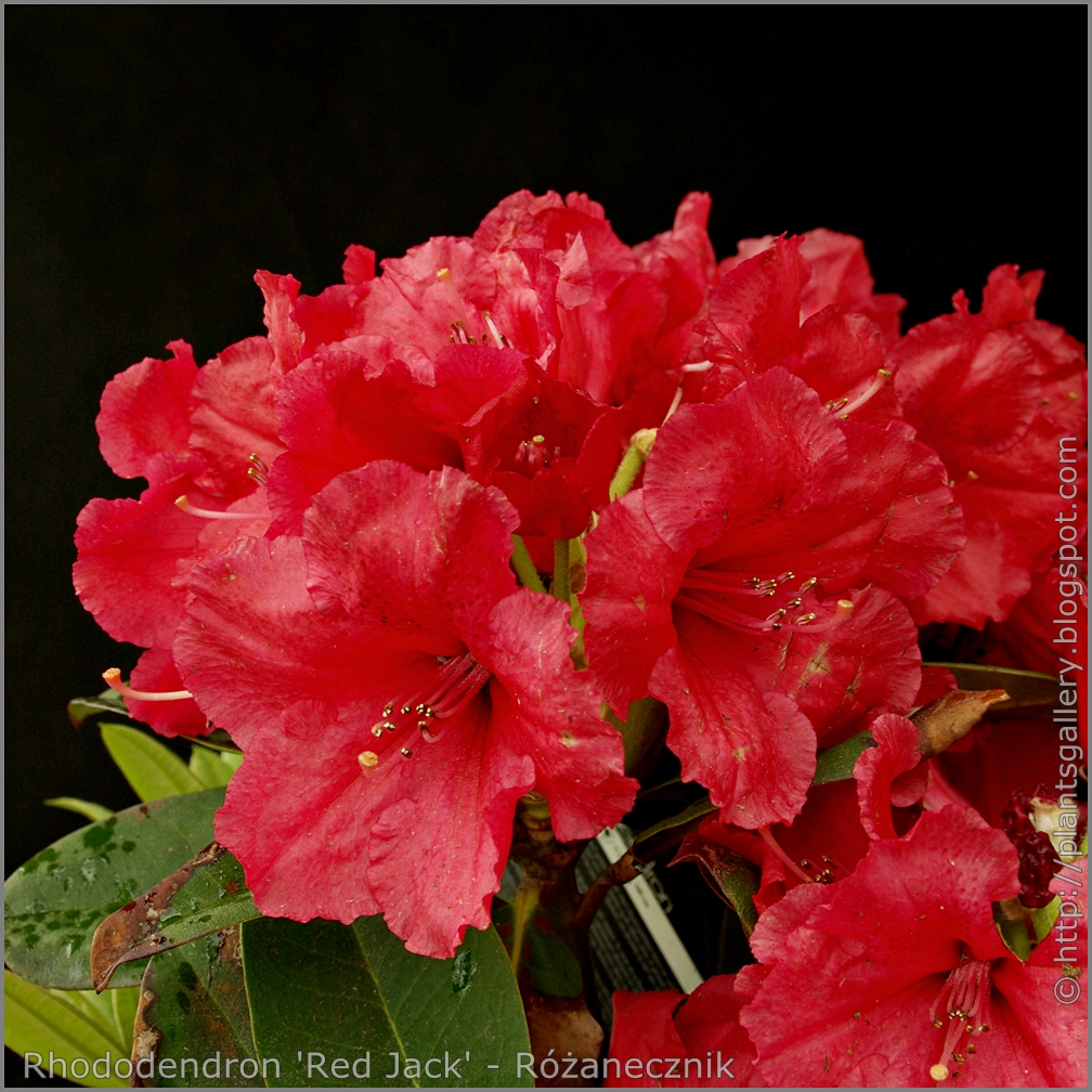 plant gallery encyklopedia ro lin rhododendron 39 red. Black Bedroom Furniture Sets. Home Design Ideas