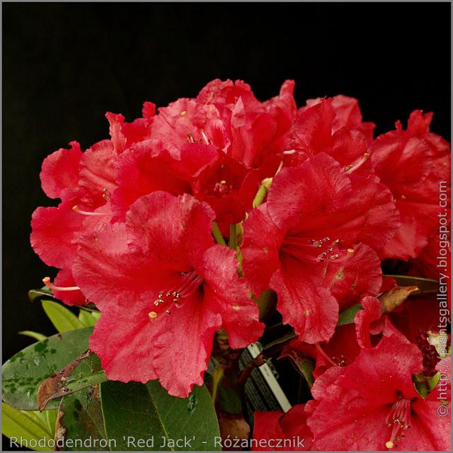 Rhododendron 'Red Jack' - Różanecznik 'Red Jack' kwiaty