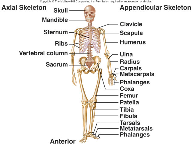 Axial And Appendicular Skeletons Btec Sport