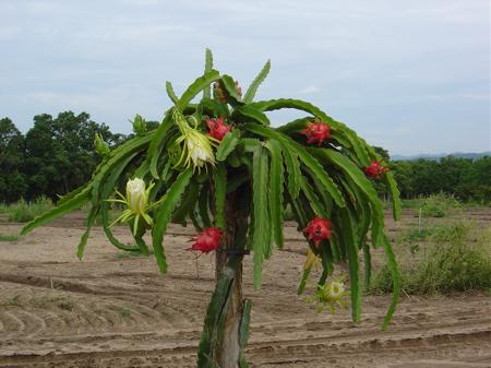Gastr nomo al rescate de m xico pitahaya fruto de - Arbre fruit du dragon ...