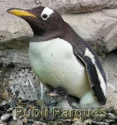 Cría de pingüino