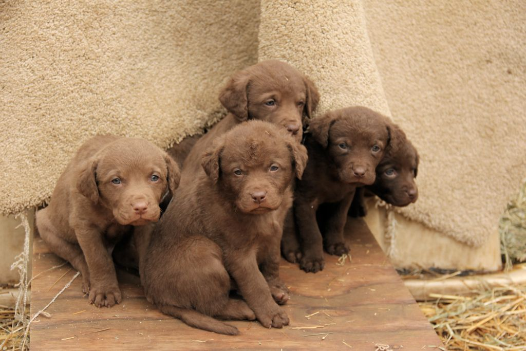 30. Chesapeake Bay Retrievers by Golden Moments Petography
