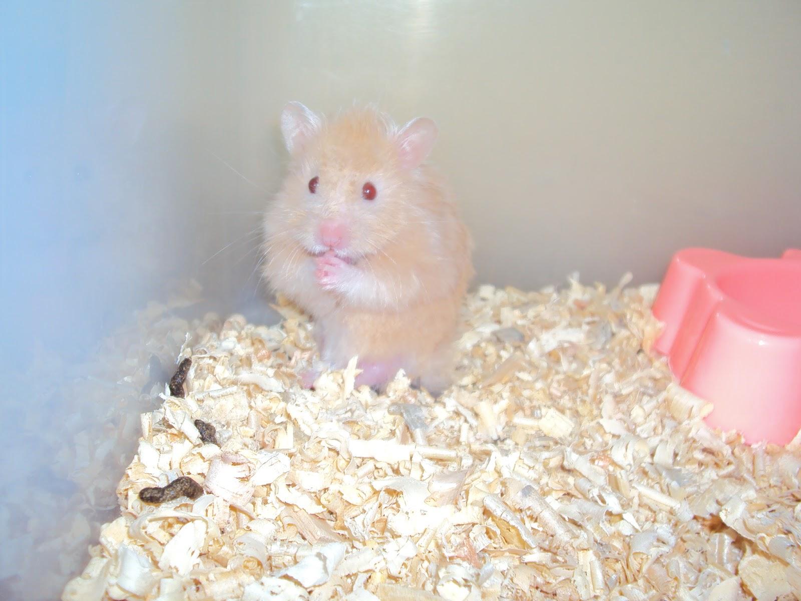 Hamster Ku Terbang!