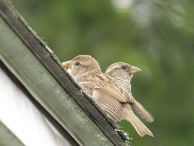two young house sparrows on roof look around