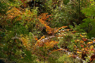 fern fronds coloured in autumn