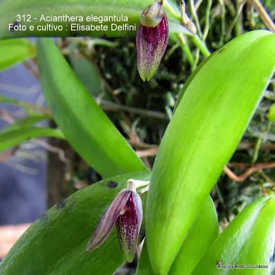 Acianthera saundersiana
