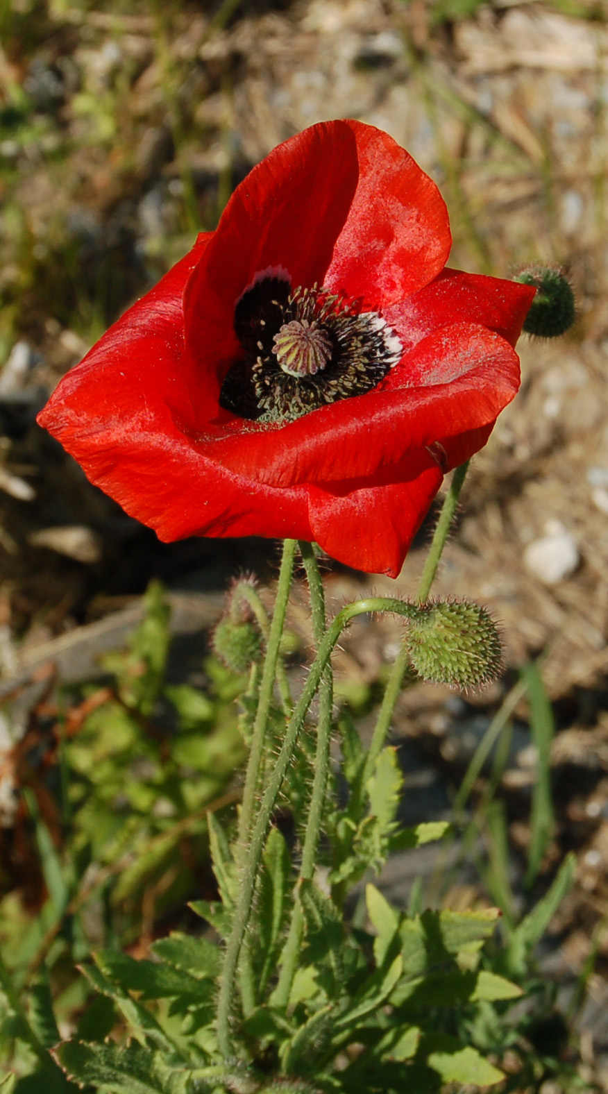 Thyra The Corn Poppy And The Opium Poppy