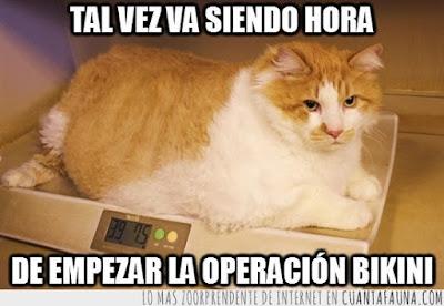 gatos obesos,