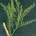 Manfaat Tanaman Bambu Tali untuk Ramuan obat