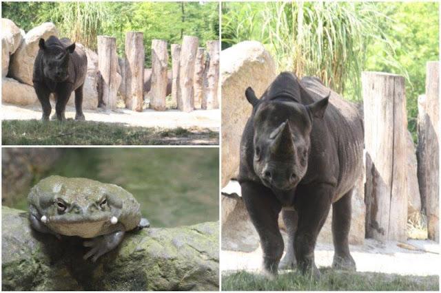 Rinoceronte, batracio en el Zoológico de Rotterdam o Diergaarde Blijdorp