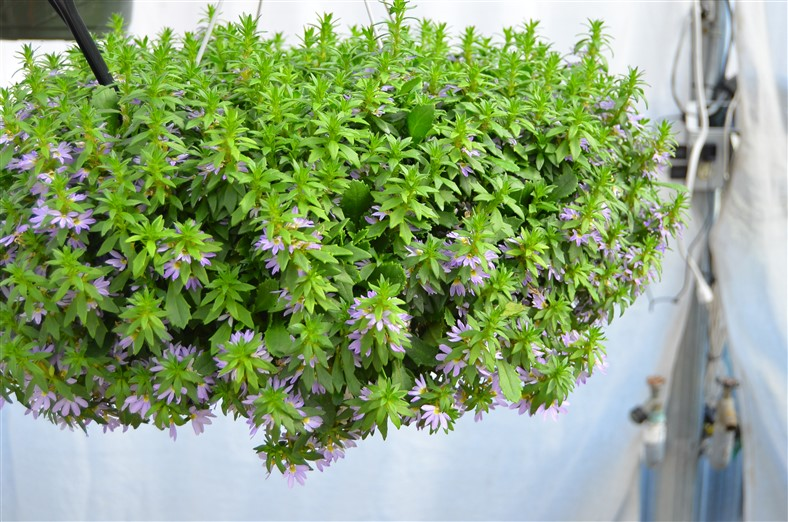 Bondi Scaevola, Bondi Blue and Bondi White available, BallFloraPlant, Photo by Amy Renea of A Nest for All Seasons