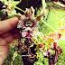 Anggrek Queen Of Diamond godean.web.id