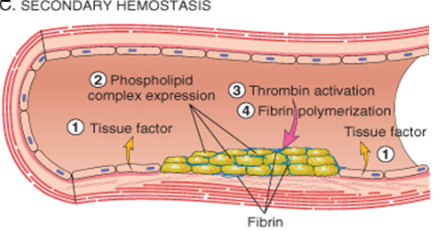 Three Steps of Hemostasis | Physiology Plus