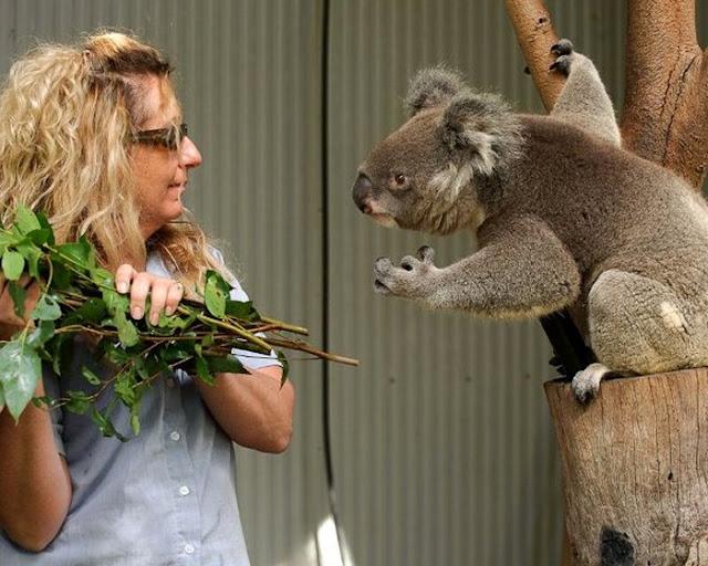 Funny koala, funny koala picture, koala picture