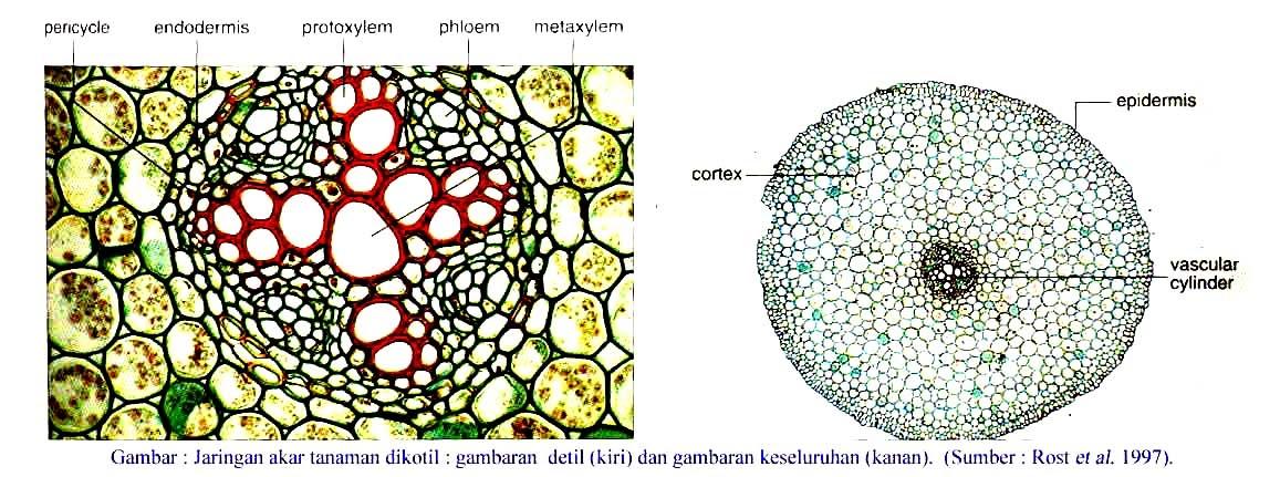 Ananda's Blog: Struktur Akar Tumbuhan Monokotil dan Dikotil