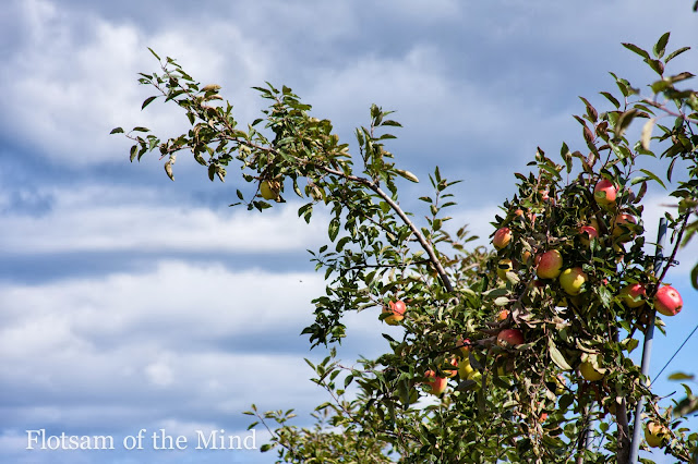 Apple Picking - Flotsam of the Mind