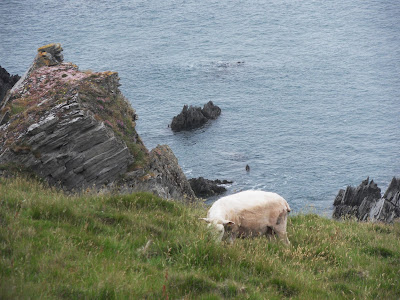 Sheep on North Devon cliffs