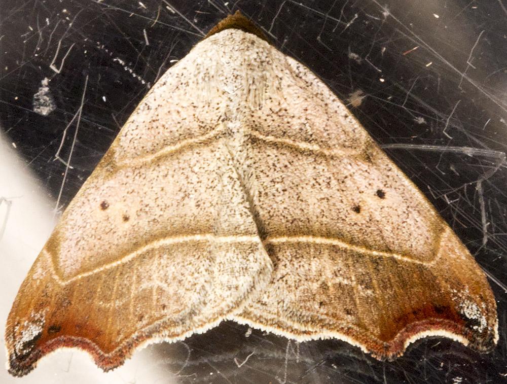 Beautiful Hook-tip, Laspeyria flexula.  Noctuidae.  Hayes,  June 2014.