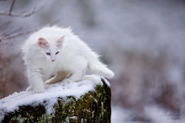 Magnifique Photo Chat blanc mignon dans la neige