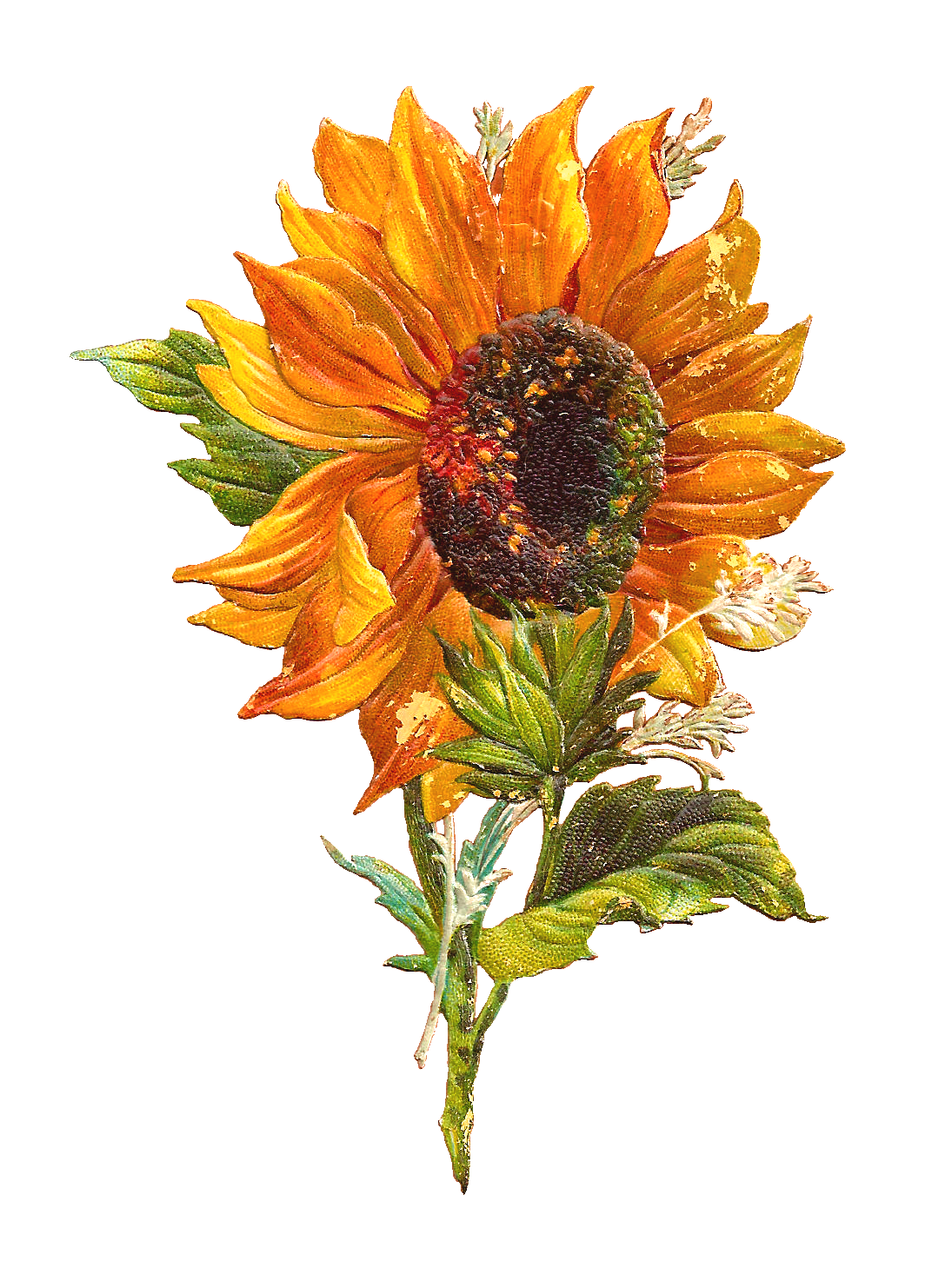 Antique Images: Free Flower Graphic: Sunflower Clip Art of 2 Victorian ...