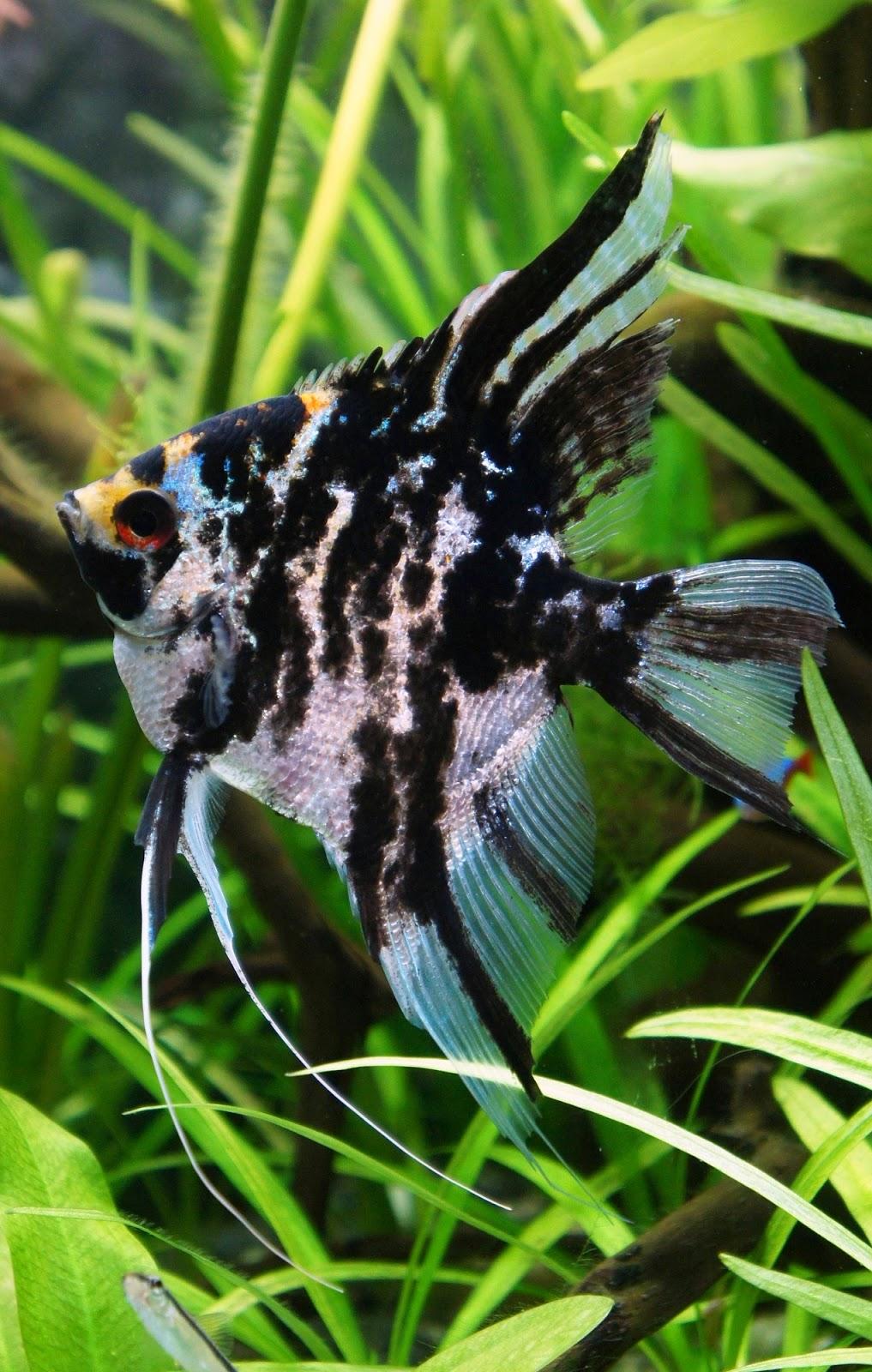 Colorful fish for aquarium freshwater - By Denizka