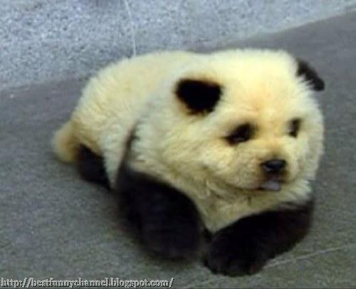Dog panda.2