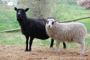 Midnight and Panda, two of our Icelandic Sheep