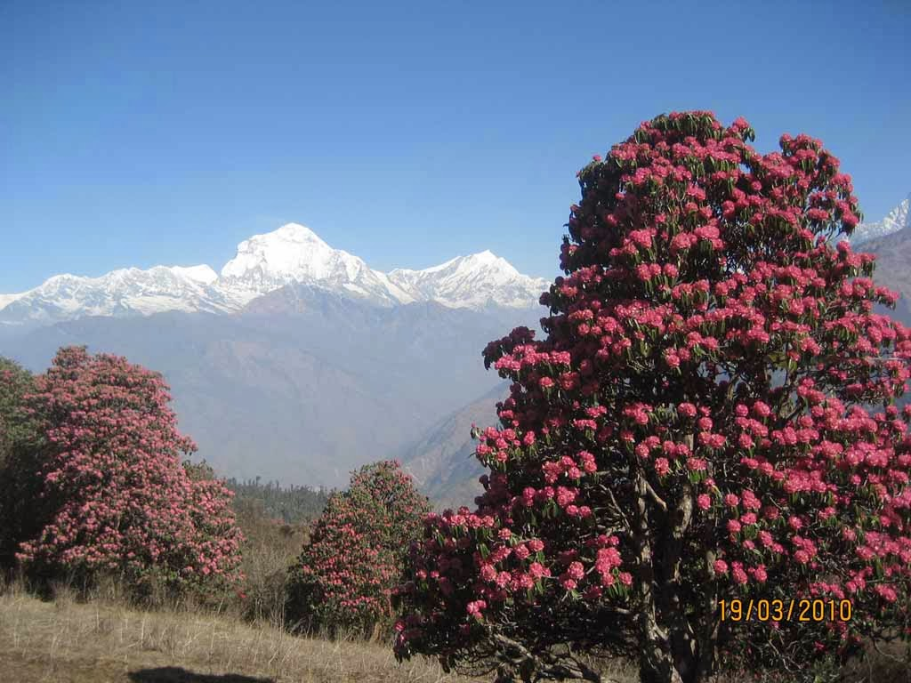ghorepani poon hill trekking, ghorepani poon hill treks, ghorepani poon hill trek, annapurna sunrise view trekking through ghorepani poonhill, ghorepani poonhill and ghandruk village trek