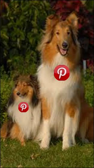 Perro Collie Pinterest