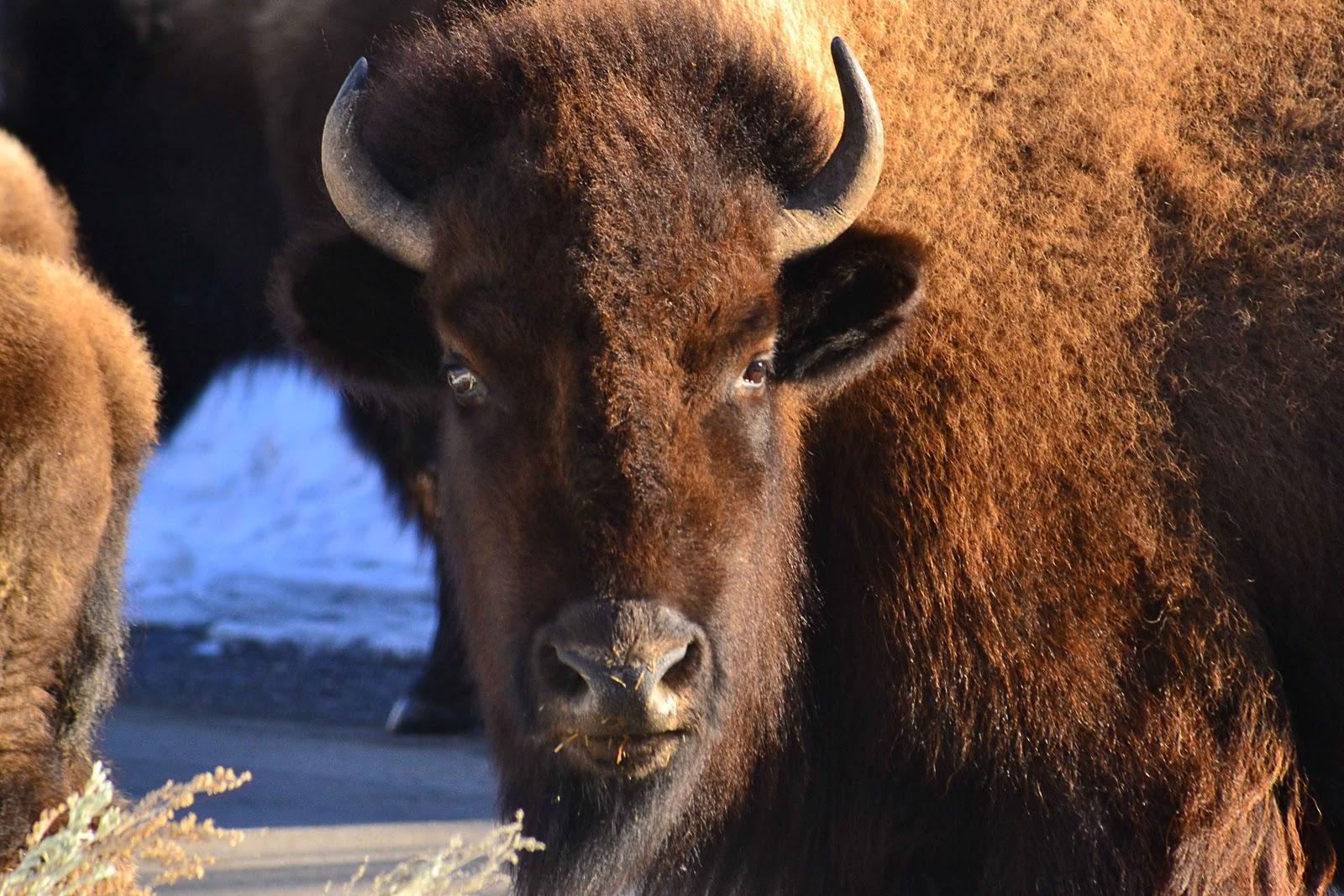 Bison face