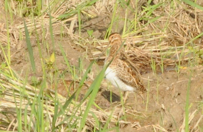 Snipe (Gallinago sp)