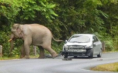فيل غاضب يحطم سيارة