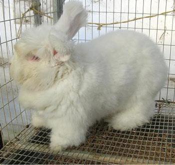 مطلوب  Angora+rabbit+3