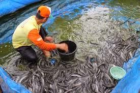 pemanenan ikan lele dikolam terpal