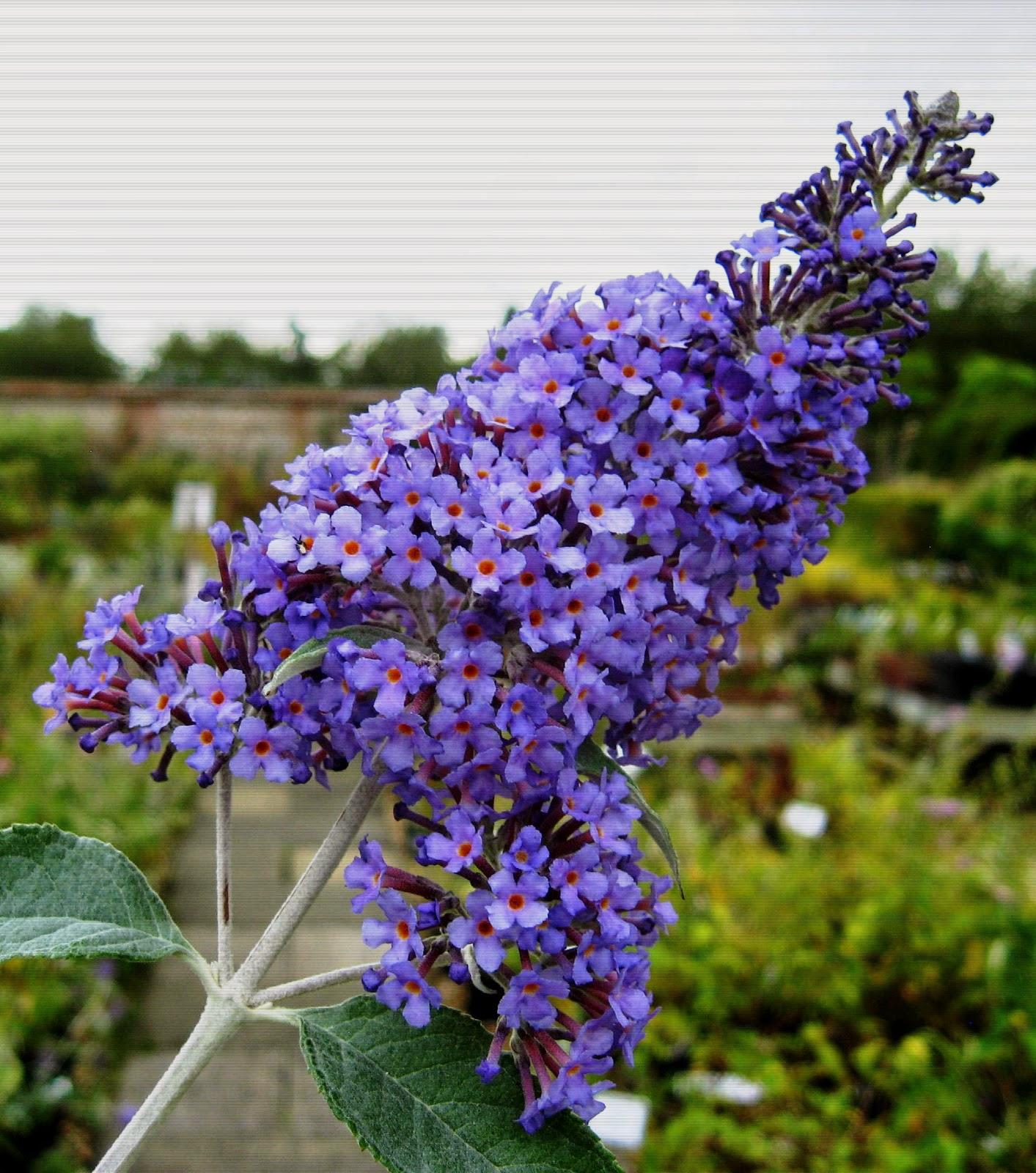 Cvjetajuće grmlje za vaš vrt - Moj Vrt Cvijeća