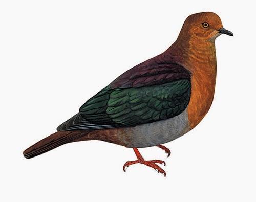 extinct doves