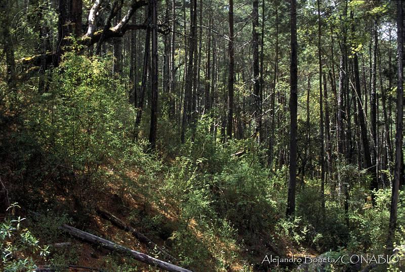 Bosques Templados  ECOSISTEMAS BOSQUE TEMPLADO