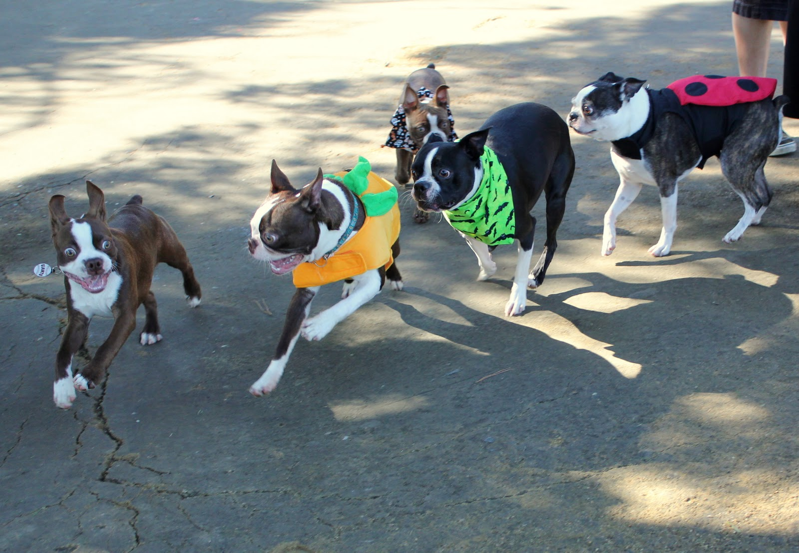 Taming Wild Angels: Boston Terrier Halloween Party!