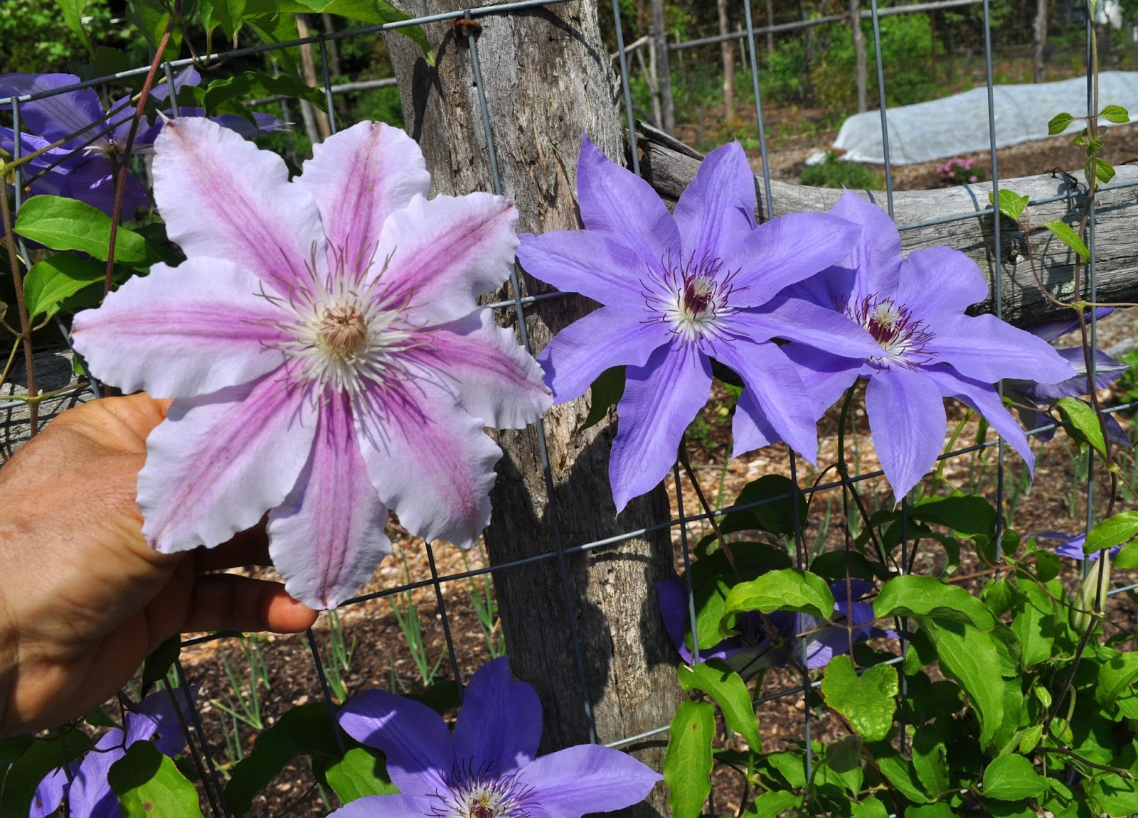 In Lee S Garden Now A Visitation Clematis And A Workshop
