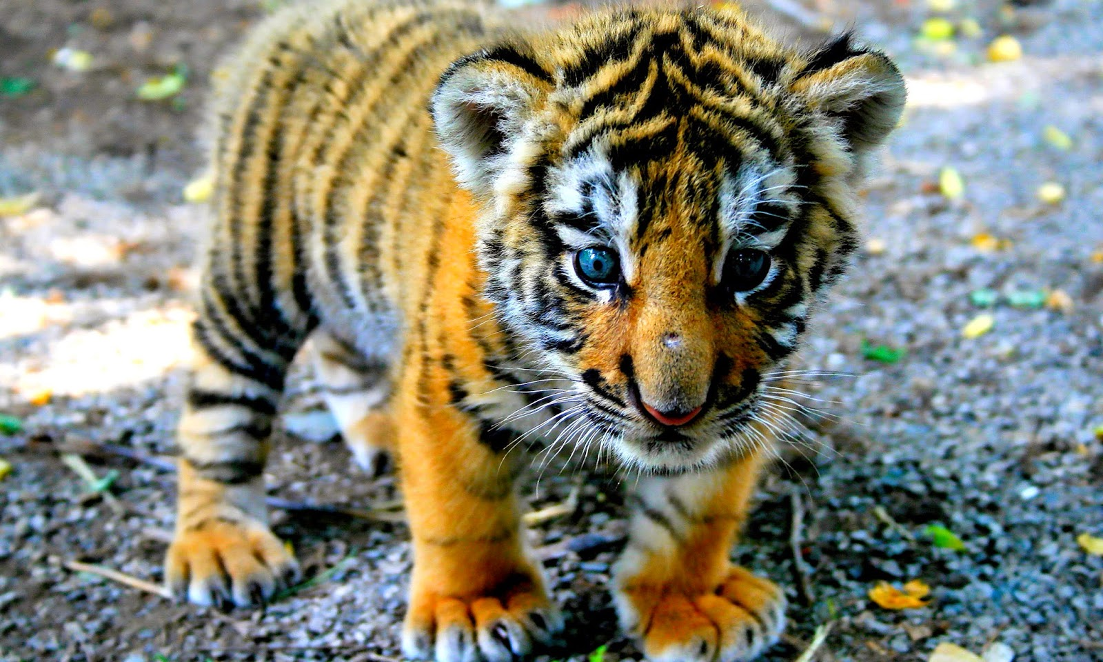 <b>Tiger</b> Images <b>wallpapers</b> (67 <b>Wallpapers</b>)