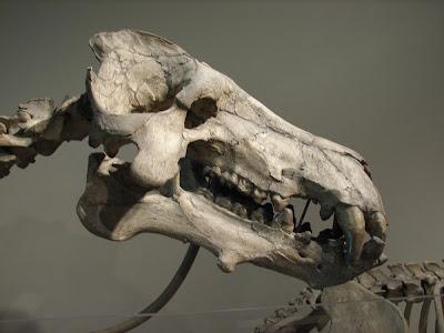 Daeodon skull
