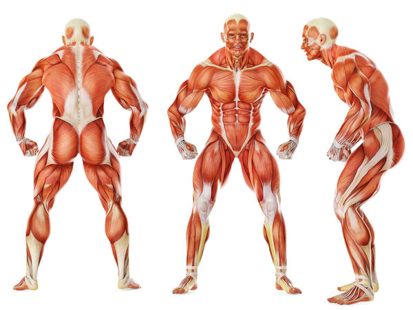 stan's health blog: 15 interesting facts about the muscles, Muscles