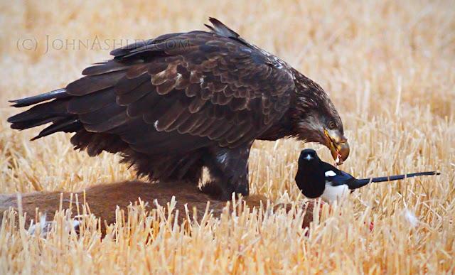 Subadult Bald Eagle (c) John Ashley