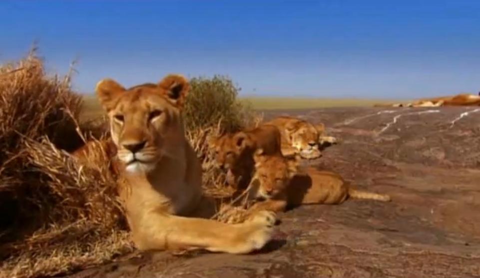 Lion S Natural Instincts
