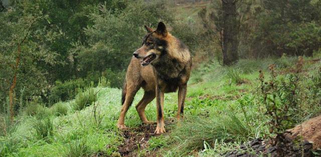 Lobo, zoologia y biologia