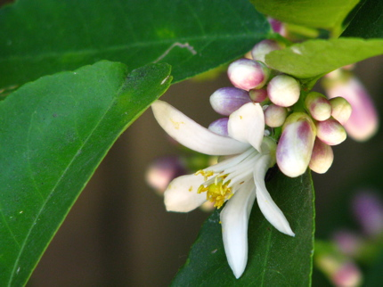lime blossoms