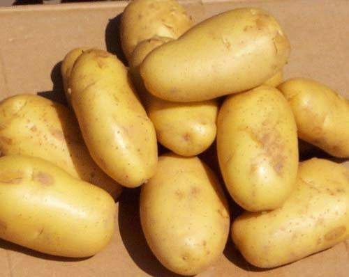 elakkan ubi kentang